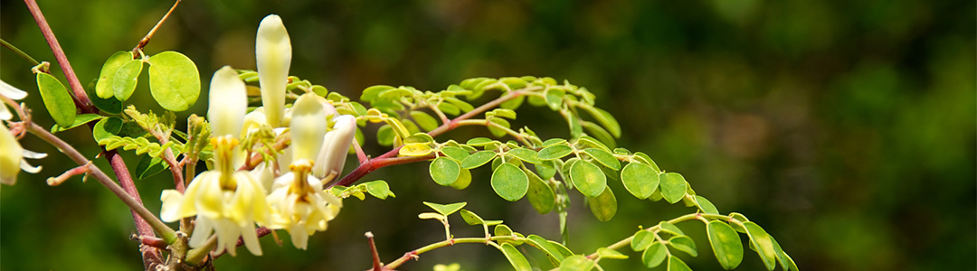 moringa olifera thesis Moringa oleifera un árbol con enormes potencialidades 1 geoff folkard y john sutherland2 1 traducido de agroforestry today1996 vol 8 no 3 p 5-8 por ariadne jiménez ucr, turrialba, costa.